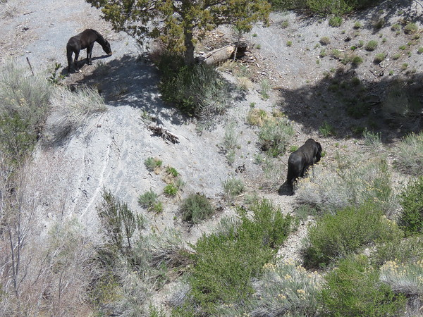 Two wild horses at the base of the parking area on the curve across from the entrance to the Deer Creek picnic area where we hike back in Dark Canyon.